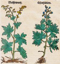 abbildung-der-wolfswurz-aconitum-lycoctonum-links-und-des-eisenhuetleins-aconitum-napellus-rechts-im-kraeuterbuch-des-hieronymus-bock-von-1546-klein