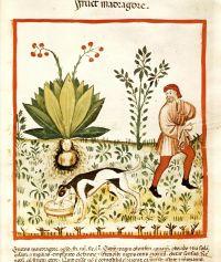 alraunenernte-aus-dem-kodex-tacuinum-sanitatis-in-medicina-cod-vindob-ser-nov-2644-ca-1390-klein