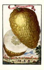 Cedro ordinario Volkamer 1708