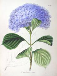 Hydrangea_macrophylla_SZ52