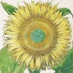 Sonnenblume aus dem Hortus Eystettensis